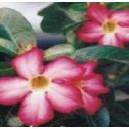 Róża Pustyni (Adenium Obesum - kaktus) nasiona