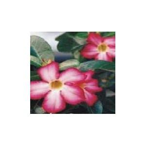 Róża Pustyni (Adenium Obesum - kaktus) nasiona 10 szt