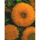 Słonecznik Pełny wysoki (Helianthus Annuus) nasiona