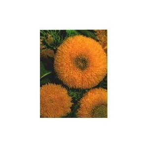 Słonecznik ozdobny niski, pełny (Helianthus Annuus) nasiona