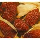 Kukurydza Ozdobna Kolby Truskawkowe (Zea Mays) nasiona
