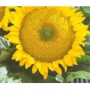 Słonecznik Ogrodowy (Helianthus Annuus) nasiona