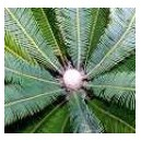 Sagowiec (Cycas Revoluta) sadzonki