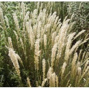 Perłówka Orzęsiona (Melica Ciliata) nasiona 20 szt