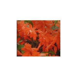 Szałwia błyszcząca fioletowa  (Salvia Splendens) nasiona