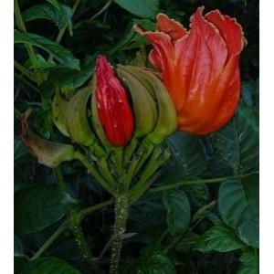 Tulipan Afrykański (Spathodea Campanulata) nasiona 5 szt