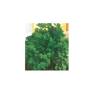 Lubczyk Ogrodowy (Levisticum Officinalis) nasiona