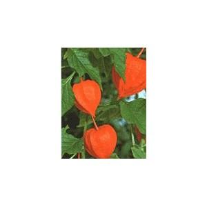 Miechunka Rozdęta (Physalis Alkegengii) nasiona 5 szt