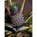 Ananas Comosus (duży) nasiona