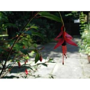 Fuchsia Excoticata nasiona 10 szt