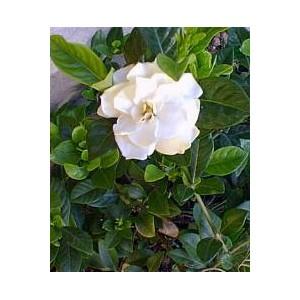 Gardenia jaśminowata (Gardenia Jasminoides) nasiona 10 szt