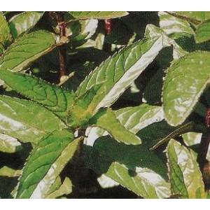 Mięta Pieprzowa (Mentha Piperita) nasiona