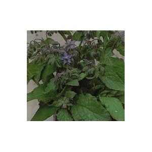Ogórecznik Lekarski (Borago Officinalis) nasiona