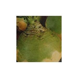 Brukiew Jadalna (Saba lub Nadmorska) nasiona