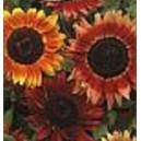 Słonecznik Ozdobny (czerwony) nasiona