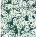 Smagliczka Biała (Lobularia Maritima) nasiona