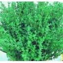 Tymianek (Thymus Vulgaris) nasiona