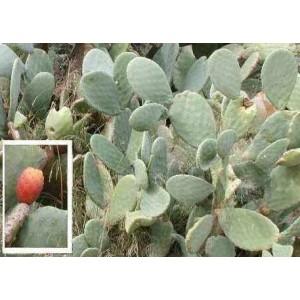 Opuncja Figowa (Ficus Indica) nasiona 10 szt