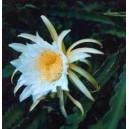 Pitaja (Kaktus Jadalny) nasiona