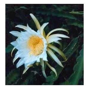 Pitaja (Kaktus Jadalny) nasiona 20 szt