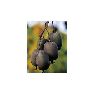 Kiwi, Aktinidia ostrolistna (Actinida Arguta) nasiona - wyprzedaż 20 szt