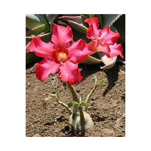 Róża Pustyni (Adenium Obesum) sadzonki