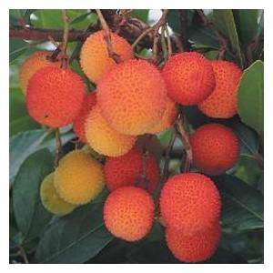 Drzewo Truskawkowe (Arbutus Unedo) nasiona 5 szt