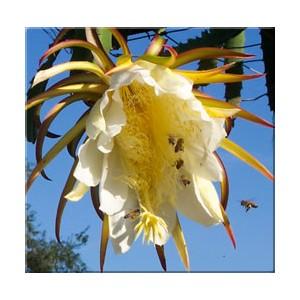 Pitaja (Hylocereus Triangularis) nasiona 20 szt