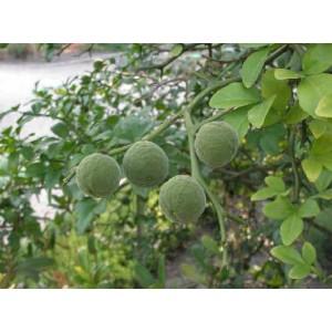 Pomarańcza Trójlistkowa 4 Letnie - duże sadzonki