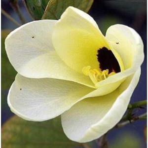 Storczykowiec (Bauhinia Tomentosa) 3 nasiona