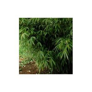 Bambus Ogrodowy 3 metrowy! (phyllostachys bisetti) sadzonki
