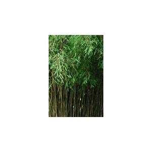 Bambus Ogrodowy (Fargesia) sadzonki