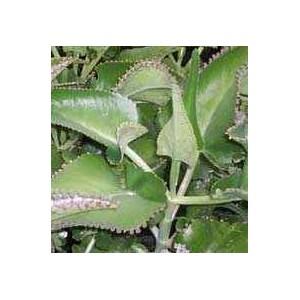 Żyworódka Daigremonta (Kalanchoe Daigremontiana) - sadzonki