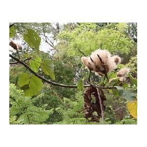 Balsa (Ochroma Pyramidalis) 3 nasiona