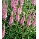 Przetacznik Kłosowy (Veronica Spicata) nasiona