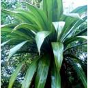 Kordylina, Kapuściane Drzewo (Cordyline Indivisa) nasiona