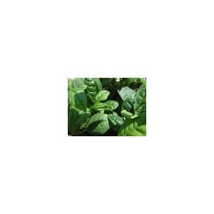 Herbata Chińska (Camelia Sinensis) 3 nasiona