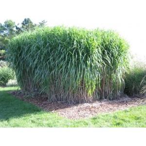 Miskant Chiński (Miscanthus Sinensis) nasiona 20 szt
